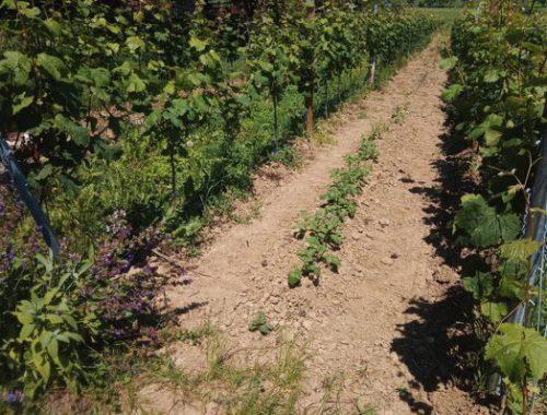 Gemüse aus dem Weinberg